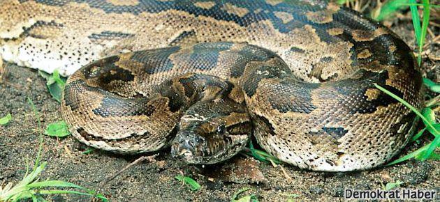'Evcil' yılan iki çocuğu öldürdü
