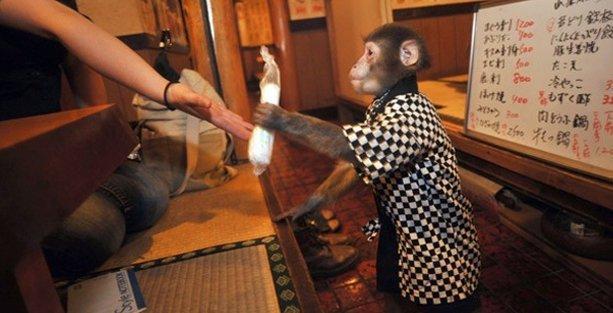 Garsonluk yapan maymunlara çalışma izni