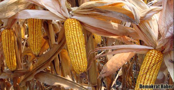 Genetiği değiştirilmiş gıda neden tehlikelidir?