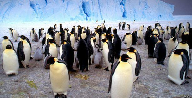 'İklim değişikliği penguenleri tehdit ediyor'