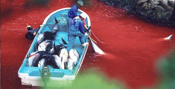 Japonya'da 'geleneksel' yunus katliamı başladı!