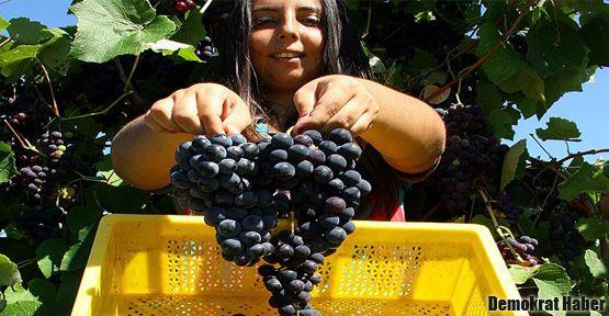 Kansere karşı kara üzüm