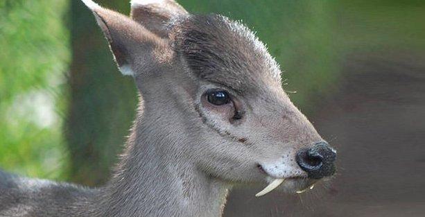 Kaşmir misk geyiği 66 yıl sonra görüntülendi