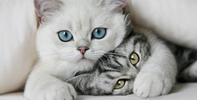 Kedi videoları stresi azaltıyor
