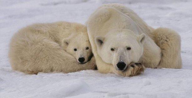 Kutup ayıları yok oluyor