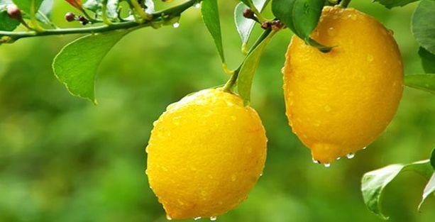 Limon fiyatlarının önü alınamıyor