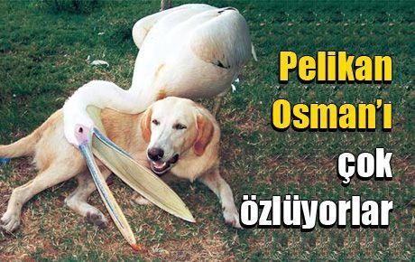 Pelikan Osman'ı çok özlüyorlar