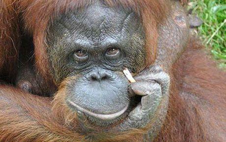 Sigara tiryakisi orangutana yardım eli