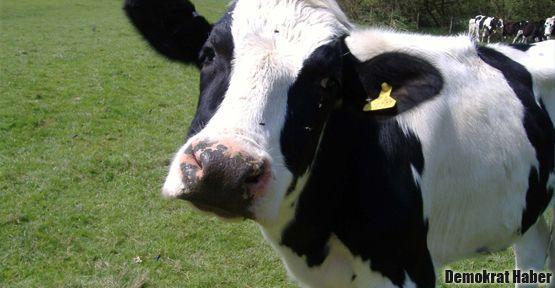 'Şu inekleri bana da göstersinler yerlerini bileyim!'