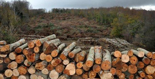 Termik santral için 43 bin ağaç katledilecek!