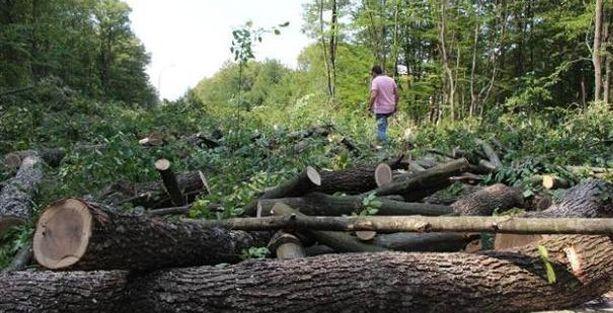 Üniversitede yol için ağaç katliamı