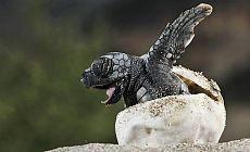 Okyanusta sadece dişi kamplumbağalar mı olacak?