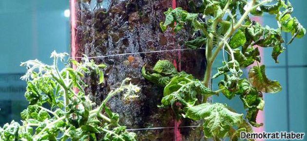 Uzayda sebze bahçeleri kuruluyor