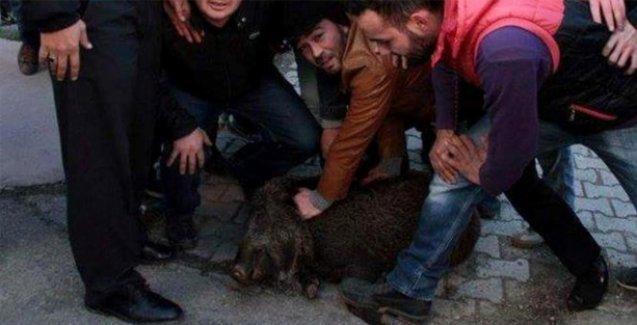 Yaban domuzu yavrusunu taşlayanlar hakkında suç duyurusu