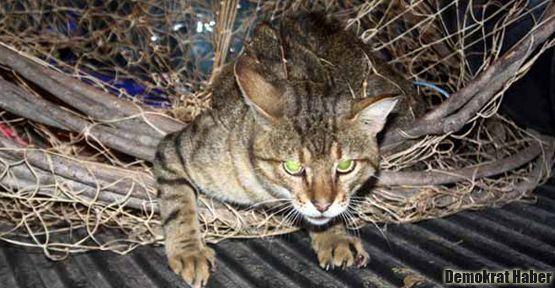 Yaban kedisi balıkçı ağına takıldı