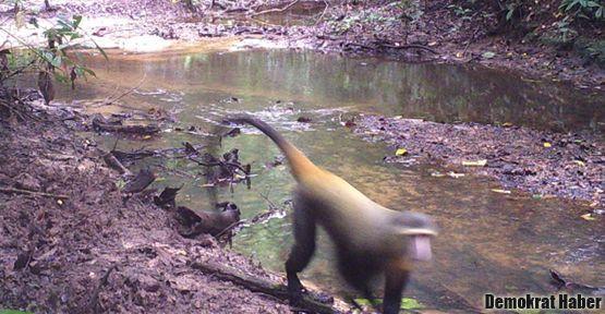 Yeni bir maymun türü keşfedildi
