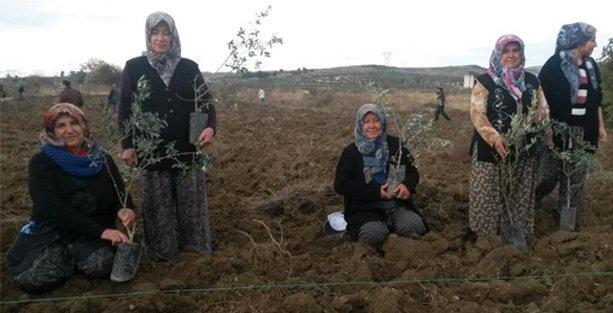 Yırca'da sökülen zeytinliğe bin fidan