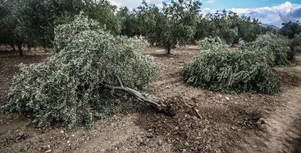 Yırca'da zeytin ağaçlarını katleden Kolin, 760 zeytin ağaçlık bölgeyi koruyacakmış!