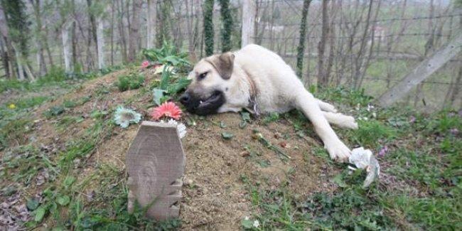 Zozo, ölen sahibinin mezarını her gün ziyaret ediyor